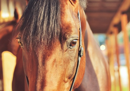 woody bay: portrait of bay horse in woody stable