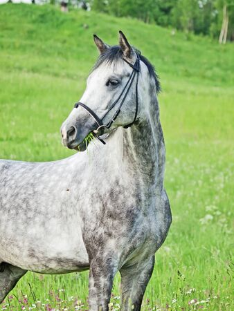 warmblood: beautiful grey horse in green field
