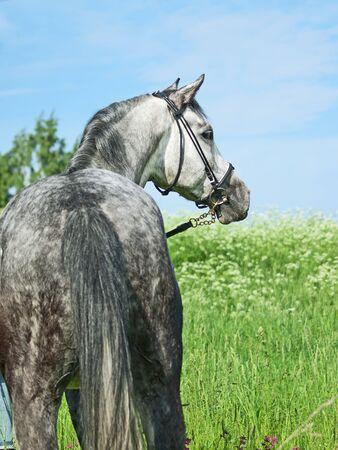 beautiful grey horse in green field photo