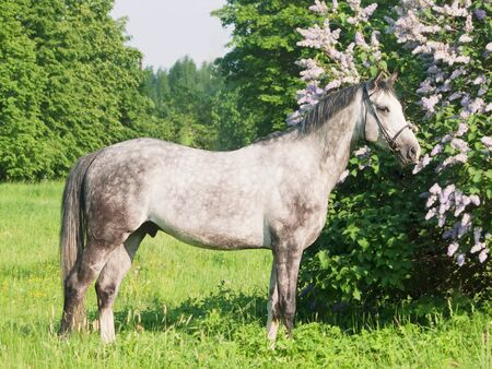 warmblood: exterior of breed grey horse Stock Photo