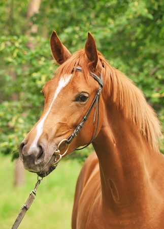 warmblood: portrait of beautiful sorrel horse