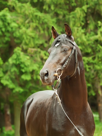 portrait of beautiful black trakehner stallion Stock Photo - 11824559