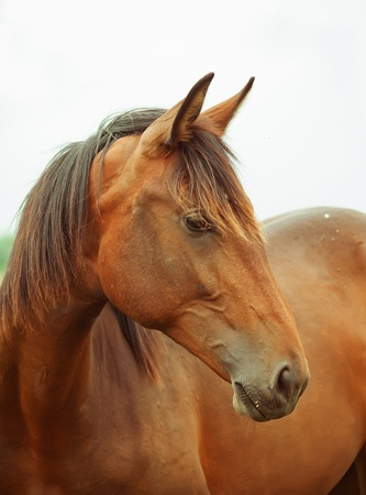 trotter: Portrait of pretty young trotter mare