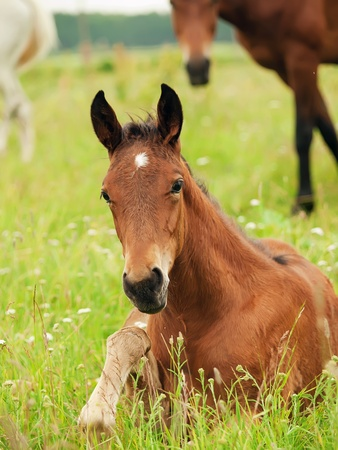 warmblood: laeing pretty little  foal in field