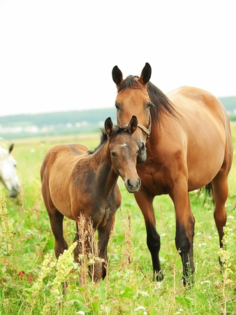 little foal with mother in meadow