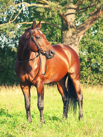 warmblood: beautiful prizer Trakehner stallion in beautiful place