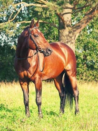 trakehner: beautiful prizer Trakehner stallion in beautiful place