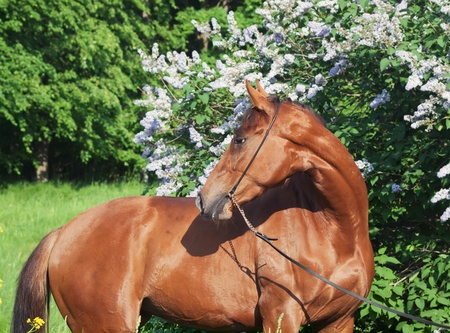 blosom: beautiful chestnut  horse near blosom bush