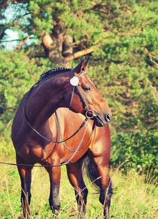 trakehner: beautiful prizer Trakehner stallion outdoor sunny day Stock Photo