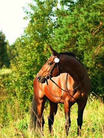 trakehner: beautiful prizer Trakehner stallion