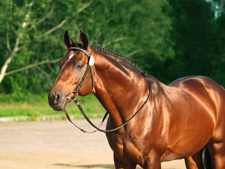 warmblood: beautiful prizer Trakehner stallion