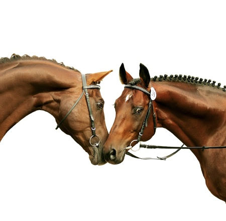 couple of beautiful prizer Trakehner stallions isolated on white
