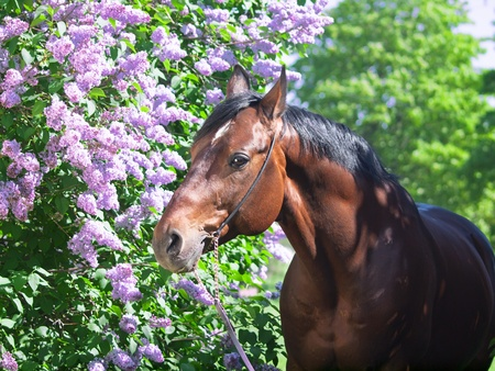 portrait of nice horse near lilac flower