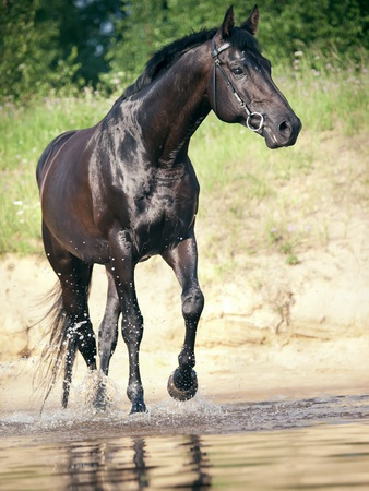 warmblood: trotting  black stallion in lake Stock Photo