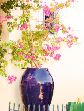 kefalinia: pot with blossom bush,Greece Stock Photo