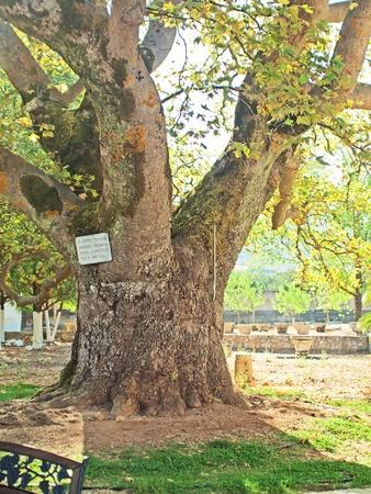 saint platan tree in church of St. Gerasimos in Kefalonia, Greece