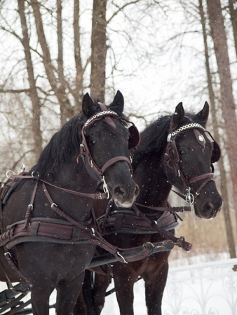 trotters: couple black  beauty trotters snowing cloudy Stock Photo