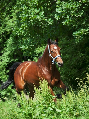 warmblood: beautiful bay mare in move outdoor sunny day
