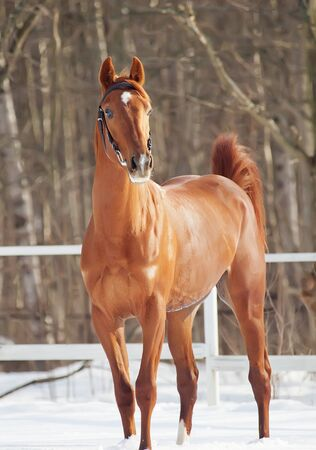 warmblood: beautiful young red  horse in snow paddock  Stock Photo
