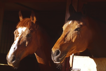 couple of horse in loose-box  photo