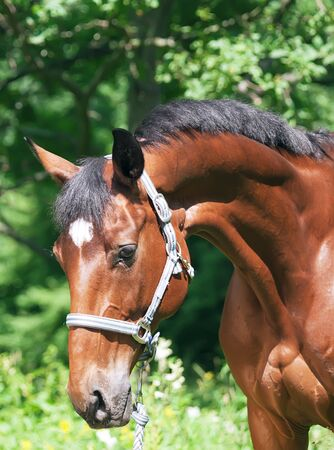 warmblood: portrait of nice bay sportive horse  Stock Photo
