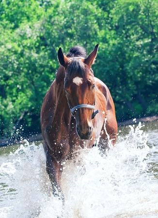 warmblood: splashing nice bay horse in lake
