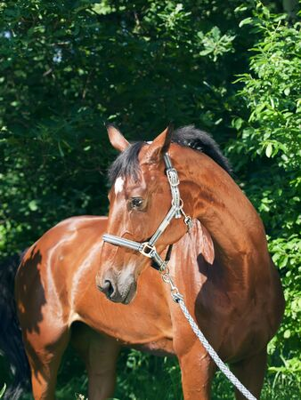 wonderful bay sportive mare  Stock Photo - 13265253