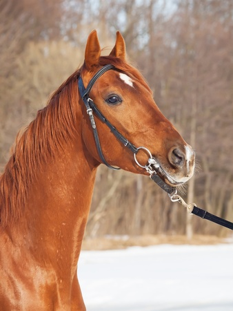 warmblood: portrait of beautiful young red  horse cloudy spring day