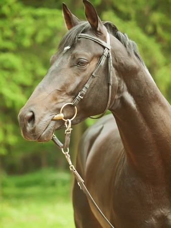 warmblood: portrait of wonderful black trakehner stallion