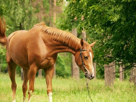 beautiful red horse in forest  Standard-Bild