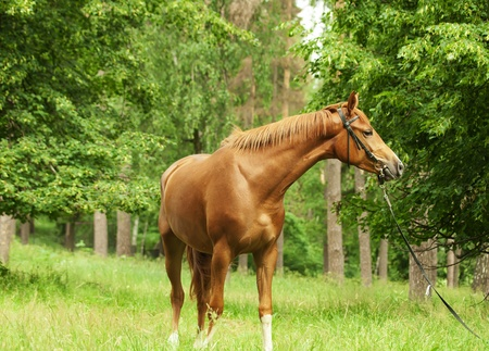warmblood: beautiful red sportive horse in forest
