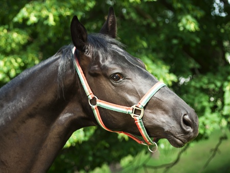 warmblood: portrait of nice young black stallion Stock Photo