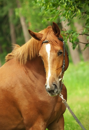 warmblood: portrait of amazing chestnut young mare