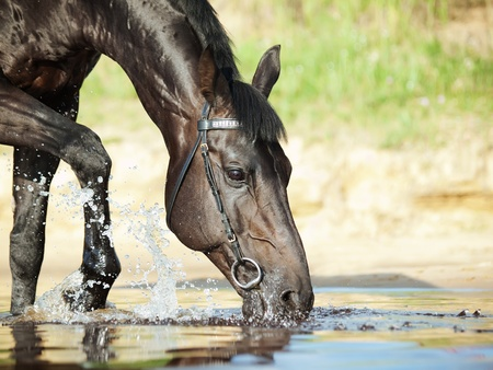 warmblood: black drinking horse in the lake Stock Photo