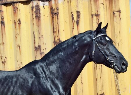 warmblood: beautiful black horse at yellow metal background sunny day