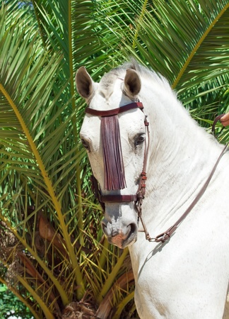 portrait of Andalusian white horse at palm background  sunny day photo