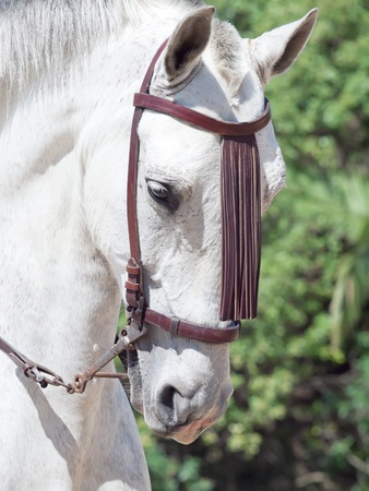 warmblood: portrait of Andalusian grey  horse in movement