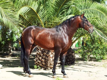 warmblood: amazing Andalusian bay stallion near palm sunny day Stock Photo