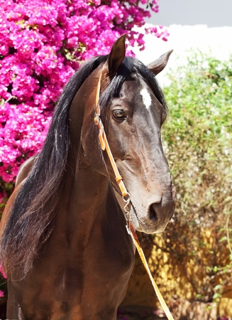 portrait of amazing Andalusian bay stallion sunny day photo