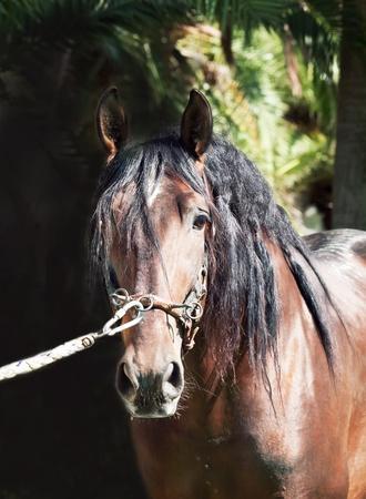 portrait of amazing Andalusian bay stallion photo