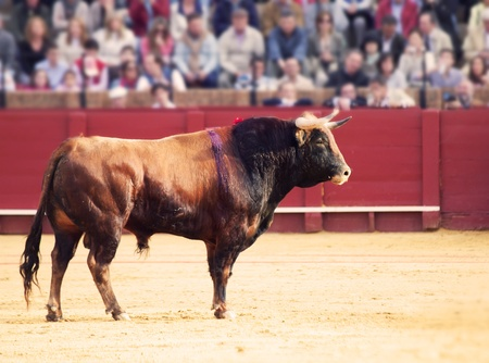 Fighting bull  from Spain  Brown bull Stock Photo - 13785784