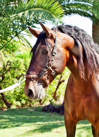 ortrait of wonderful Andalusian bay stallion sunny day photo