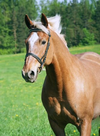 portrait of palomino horse in spring field sunny day Stock Photo