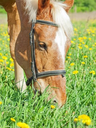 portrait of grazing palomino  cart horse Stock Photo - 13855526