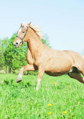 hack: palomino hack horse in the spring field in movement