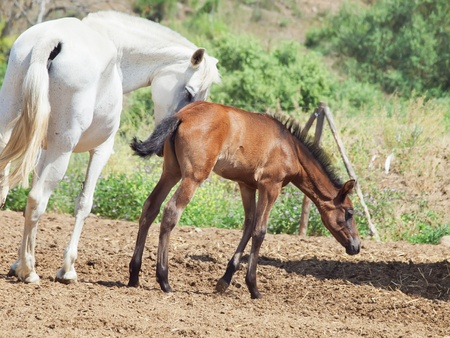 little Andalusian  foal with mom in paddock, hot day . Spain photo