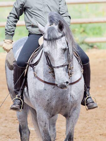 portrait of Andalisian grey dressage horse photo