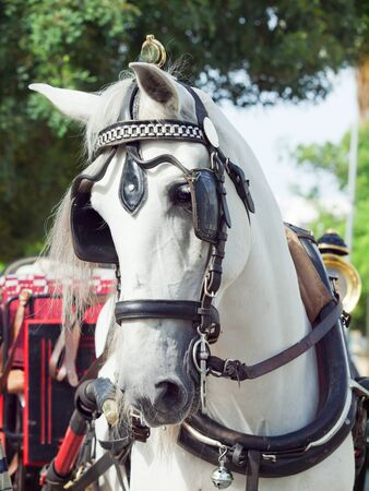 portrait of spanish carriage white horse  Spain photo