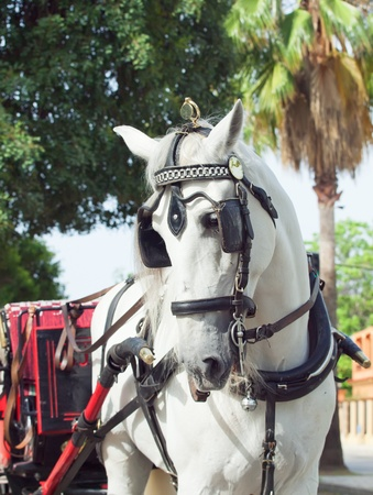 carriage white horse in Jeres,  Spain photo