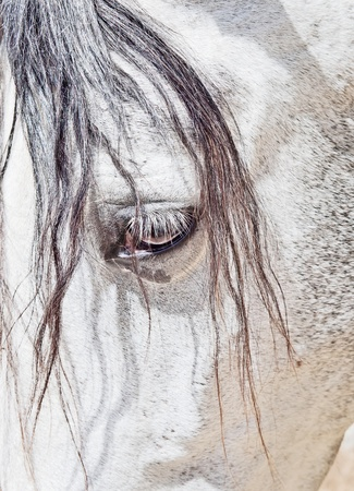 eye of  purebred  Andalusian white mare dam closeup Stock Photo